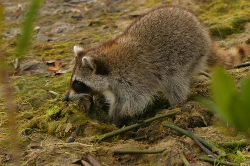 raccoon_2614